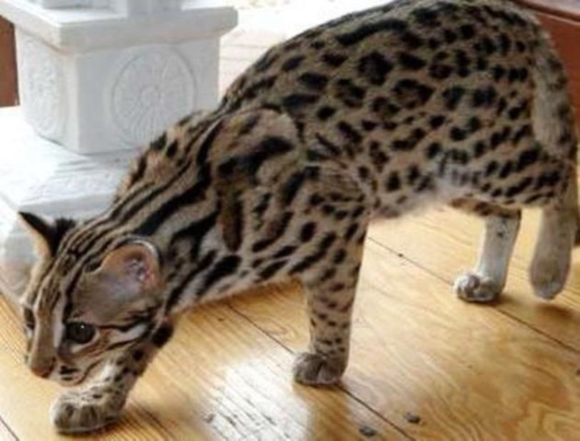 10 Jenis Kucing Paling Mahal Di Dunia Vebvebbry S Blog